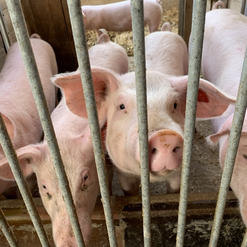 Kalk und Zeolith Einstreu für Schweine